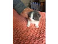 6 Blue and White Boy Kittens