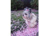 Mini Yorkshire Terrier,Biewer.