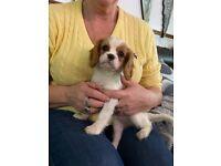 Cavalier girl for sale 9 weeks old