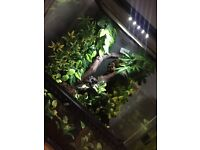 Dalmatian crested gecko with setup for sale.