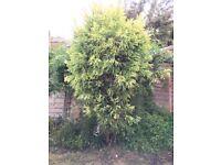 Lovely Japanese Cedar tree for sale