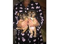 Yorkie cross puppies