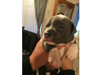 Staffordshire bull terrier/ blue staffy pups/bull staff