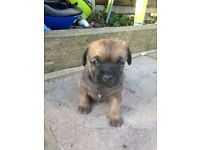 border terrier puppys,both parents family pets. ROMFORD