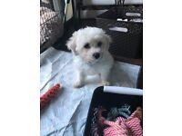 Pending collection Bichon frise puppy boy