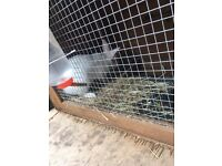 6 month old White rabbit and cage for sale