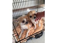Boy and Girl Chihuahua puppies.