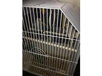 Two hand reaid budgies 10 weeks old
