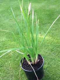 Kniphofua (red hot poker) Plants for sale £3 each