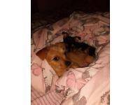 Chiwawa yorkie cross puppies
