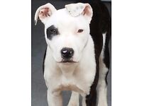 Staff cross collie puppy 6 months old