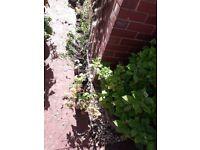 Aquilegia perrenial plant purple flowers grannys bonnet