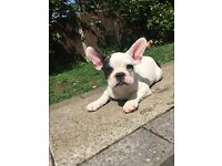 Black and white French Bulldog Boy - 4 months old - Fun and healthy