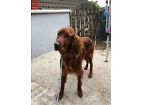 Irish red setter full pedigree