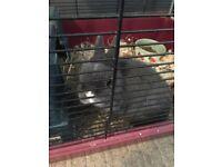 Elvis the dwarf house rabbit