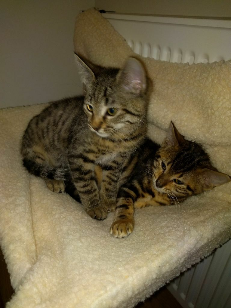 2 Egyptian Mau Kittens for sale - male | in Galashiels, Scottish ...