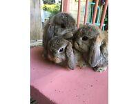 Adorable agouti mini lops