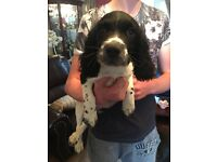 Springer spaniel pup for sale!