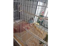 Baby budgies and cages (4 cages available)