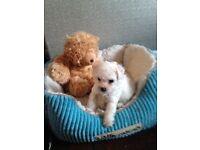 Bichon fris puppy