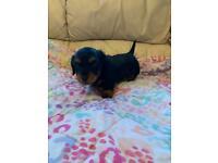 Mini dachshund pup for sale