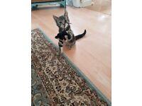 Beautiful Kitten (last boy)