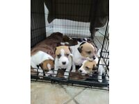 6x jack russell pups