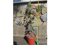 Eucalyptus leucoxylon subsp. megalocarpa ('Rosea') 70 cm tree