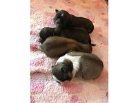 Lhasa aspo puppies for sale! Full pedigree