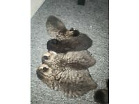 4 Beautiful Half Maine Coon and Bengal Kittens