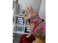 Chuiwawa pup