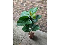 RARE Ficus Umbrellata plant 🌴