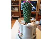 AVAILABLE. Cactus Succulent Plant Tree in a decorated nice cermic pot with sea shells
