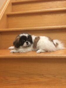 Purebred Pekingese puppies