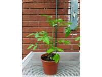 Cherry Tomatoes Plants in 13cm pots.