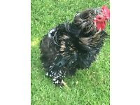 Frizzle Pekin Bantam Cockerel-free to good home