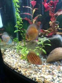 4 Discus Tropical Fish