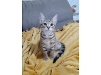 3 Month Old Male Bengal Kitten For Sale