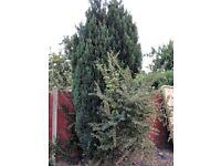 FIR TREE FOR SALE - £20