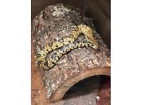 False water snake