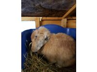 Mini lop doe for sale