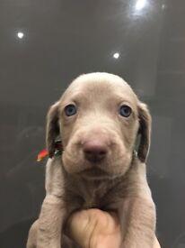 Silver Weimaraner pups, 4 boys, 3 girls, ready for their new home on 28th novemeber.