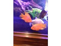 Kk parrot fish for sale