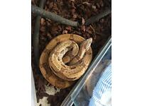 SOLD Snake for sale with vivarium SOLD