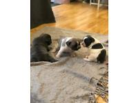French Bulldog puppies - blue/white/lilac ONLY 1 GIRL STILL AVAILABLE
