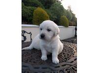 Pedigree Golden Retriever Pups For Sale