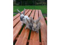 Adorable 11 week old rabbits seeking their new homes. £15