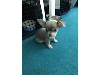 Lilac and tan Chihuahua puppy for sale