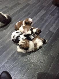 Shih tzu puppys 6 3 boys 3 girls