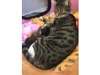 Bengal x BSH kittens for their forever loving homes